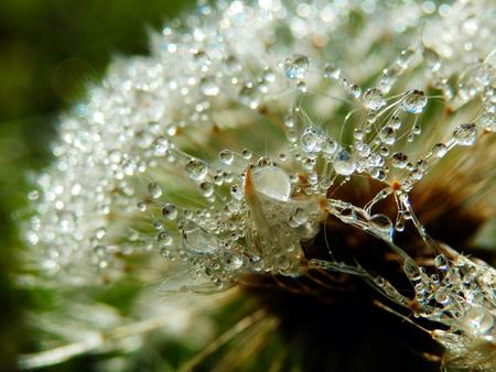 gotas de agua: la fotografía macro de diente de león con gotas de lluvia