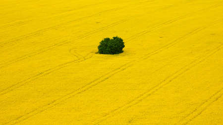color photography: color photography of colza fields Stock Photo