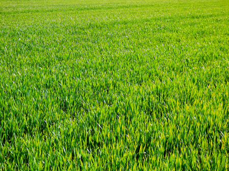green meadow: green cereal fields Stock Photo
