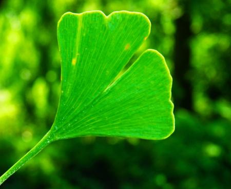 gingko: macro photography of gingko leaf