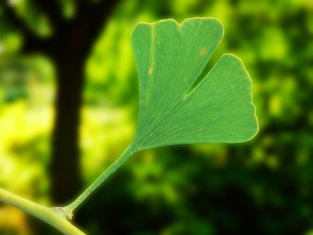 gingko: gingko biloba leaf detail