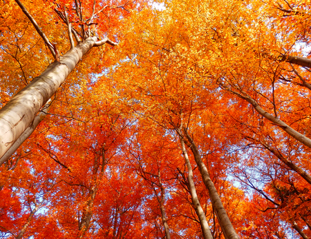beautiful autumnal photography of beech trees