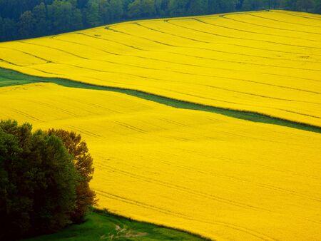 photgraphy: canola flower field Stock Photo