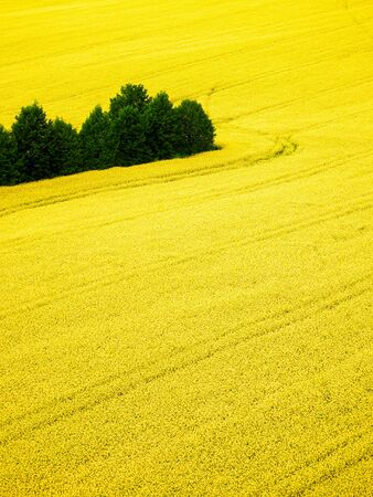 photgraphy: canola flower field from the top view Stock Photo