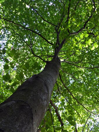 beech tree: spring beech tree from bottom view