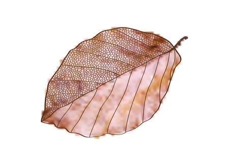colorful vector illustration of autumnal beech leaf isolated on white backgound