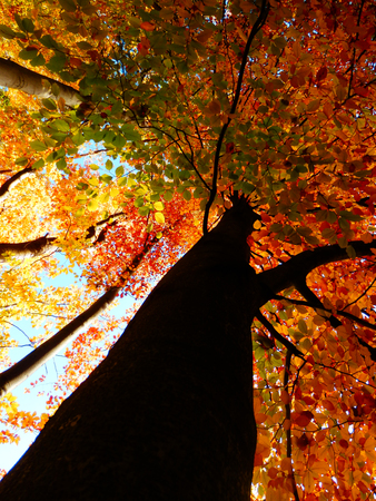 color detail of autumnal beech trees and blue sky from bottom view Stok Fotoğraf