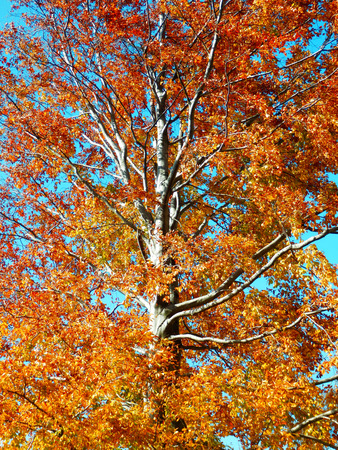 huge autumn beech tree with golden leaves and blue sky