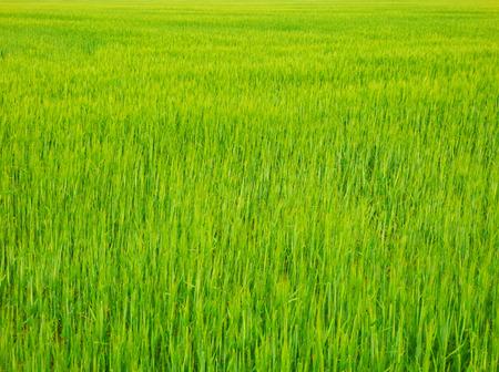 Color macro image of fresh spring grain field in sun.
