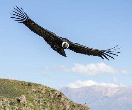 Andean condor in the peruvian mountains 版權商用圖片
