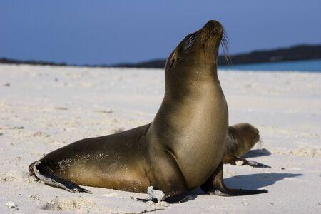 갈라파고스 바다 사자