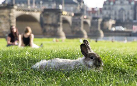 Rabbit in the park of Dresden