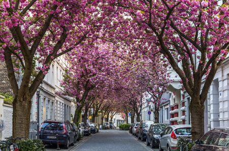 BONN, GERMANY - APRIL 21, 2018: Breitestrasse or Cherry Blossom Avenue Editorial