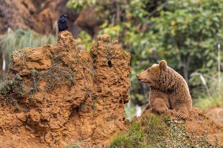 Brown bear and black raven in the Cabarceno Natural Park, Spain