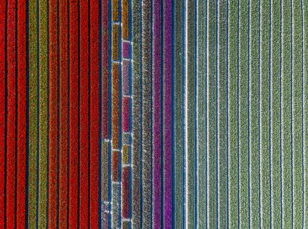 Aerial view of striped and colorful tulip field in the Noordoostpolder municipality, Flevoland, Netherlands Archivio Fotografico
