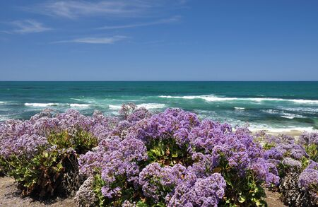 Lavender wildflowers line the shore at this beach in La Jolla, California.