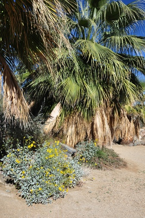 A fan palm tree and flowers creat an oasis in the desert near a fan palm tree and flowers creat an oasis in the desert near palm springs mightylinksfo
