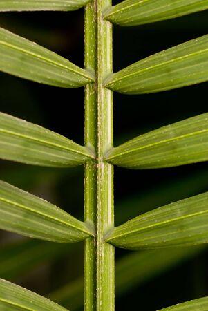 palmetto: Palmetto stem and leaves.