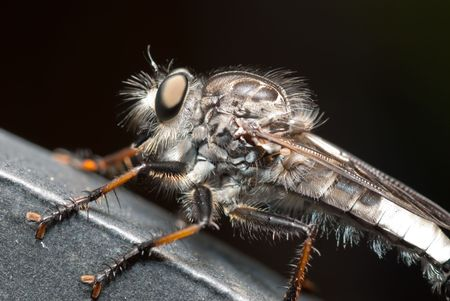 Robber fly hanging out in the garden.