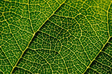 Closeup of Leaf Veins photo