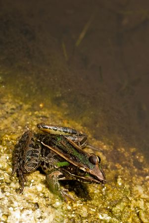 Frog by the Pond