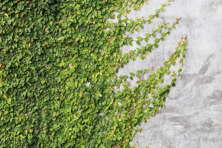 Green creeper on cement wall photo