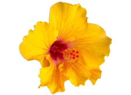 hibiscus: Hibisco amarillo sobre fondo blanco Foto de archivo