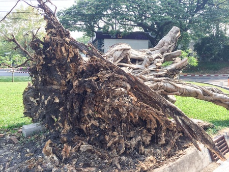 large tree: Large tree toppled by strong wind.