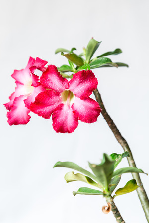 Closeup of Pink Bigononia or Desert Rose  tropical flower   with raindrop on white background  photo