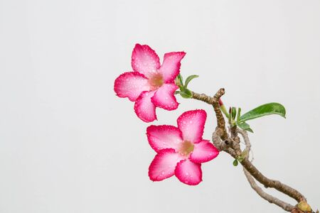 Closeup of Pink Bigononia or Desert Rose (tropical flower) with raindrop on white background. photo