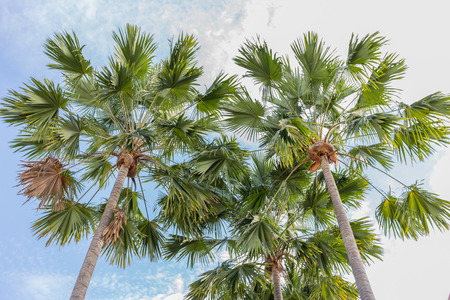 betel palm against blue sky photo