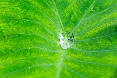 kropla deszczu: Raindrop na caladium li? Ci