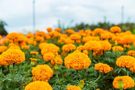 garden marigold: Marigold in the garden