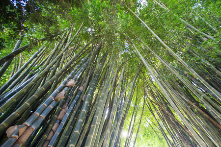 shafts: low angle view of green reeds in a bamboo forest Stock Photo