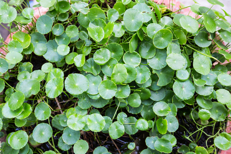 asiatica: natural fresh Water Pennywort or Centella asiatica leaf Stock Photo