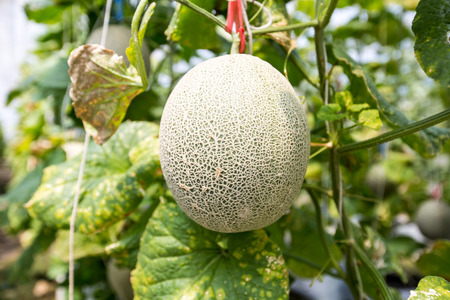 melons: Fresh melons growing in a greenhouse