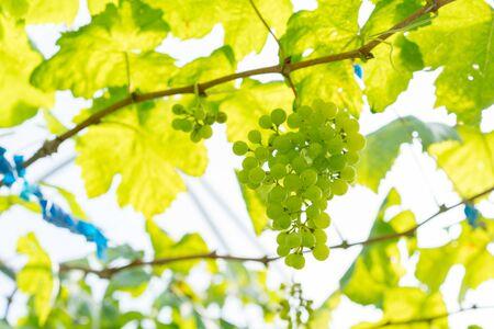 Green grapes at a vineyard