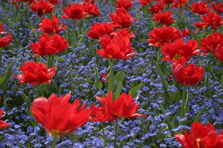 perianth: tulips and forget-me-not