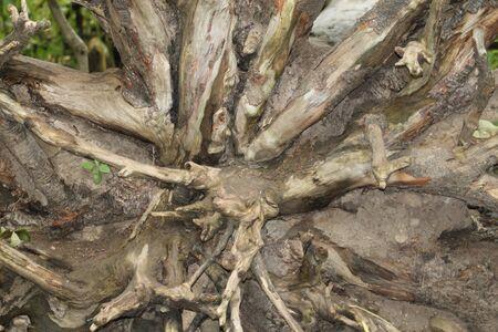 Roots of a fallen tree Foto de archivo - 133549975