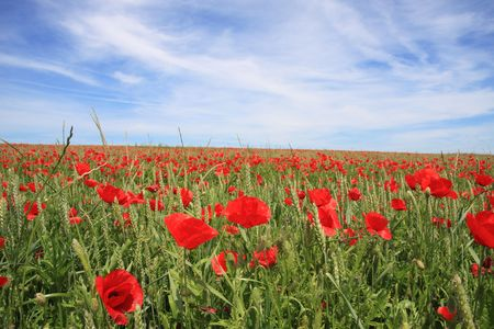 A beautiful landscape with red poppy on a wheat field photo