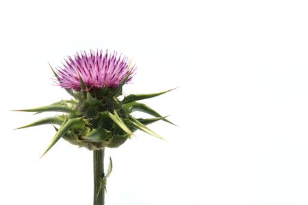Scotland symbol - a thistle isolated on a over white background