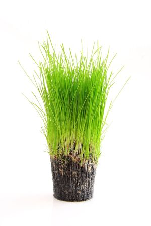 A cup of green grass and root isolated on a white background Stock Photo - 3244482