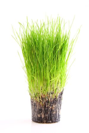 A cup of green grass and root isolated on a white background Stock Photo - 3259431