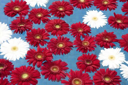 Floral background - White and red gerberas floating on the water photo