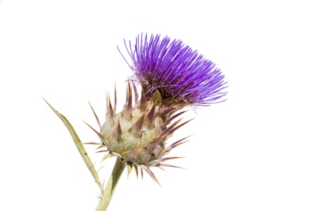 thistles: A vibrant purple thistle on a white background