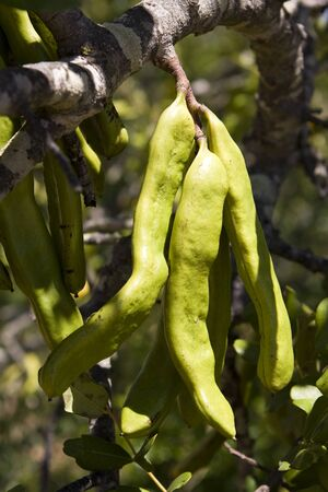 carob: Carob pods starting to ripen on a tree in Portugal. Stock Photo