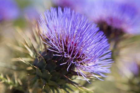 thistle: Close-up of a vibrant blue thistle on the meadow