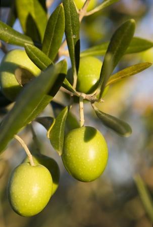 Olijven op een tak boom