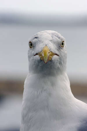 seagull in nature