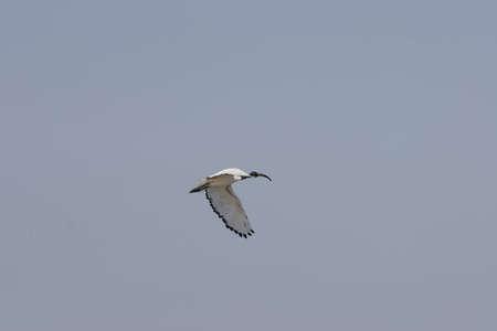 ibis of the egyptian Nil